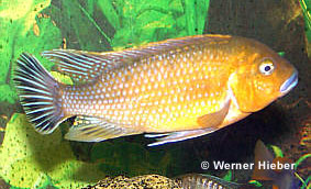 Pseudotropheus Williamsi North