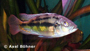Psammochromis Striped Crusher