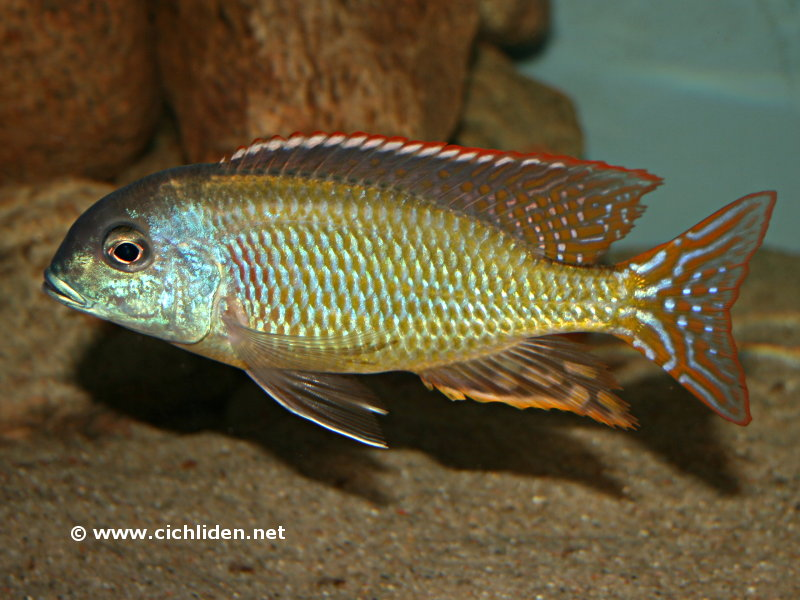 Tramitichromis Red Flush